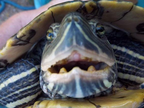 Vampire-Turtle_photo_medium